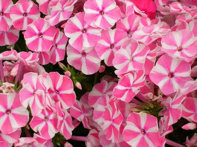 Il peccato vegetale catalogo phlox phlox paniculata for Catalogo piante e fiori